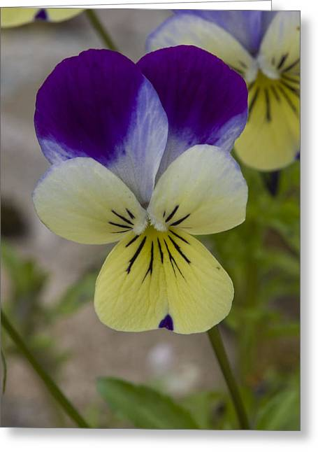 Greeting Card featuring the photograph Pansy by Rob Hemphill