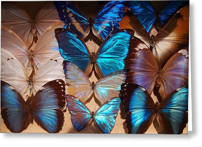 Papillon Greeting Card by Tim Nichols