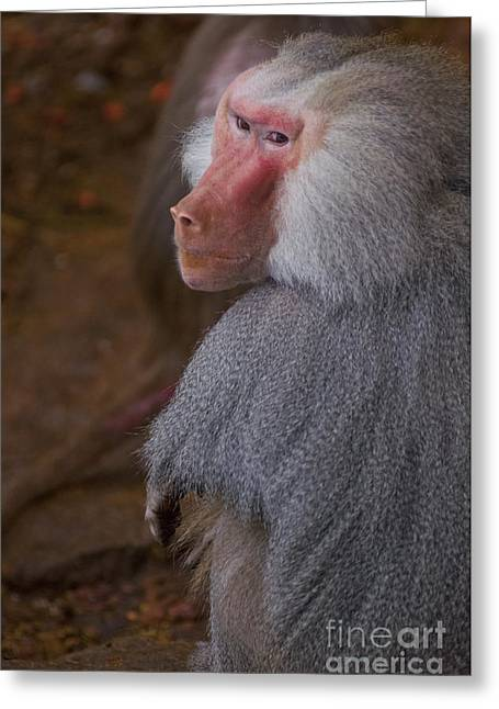 Papio Hamadryas Baboon Greeting Card by Andrew  Michael