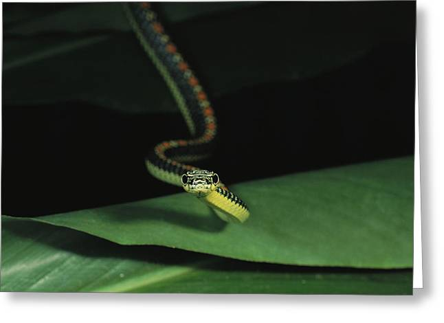Paradise Tree Snake, One Of Borneos Greeting Card