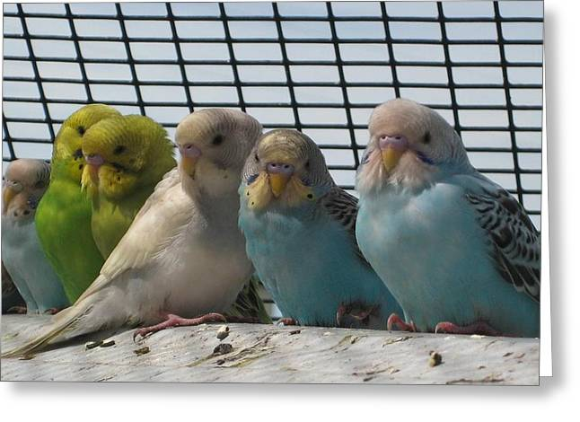 Greeting Card featuring the photograph Parakeets In A Row by Bonnie Goedecke