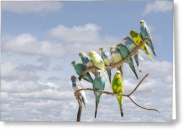 Randy Greeting Cards - Parakeets perched on a limb Greeting Card by Randall Nyhof
