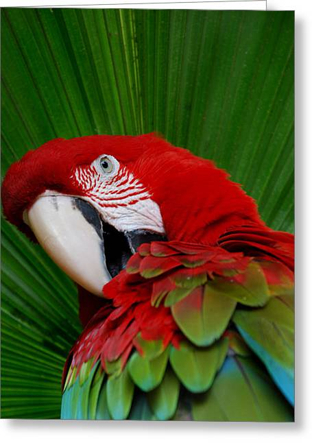 Parrot Head Greeting Card by Skip Willits