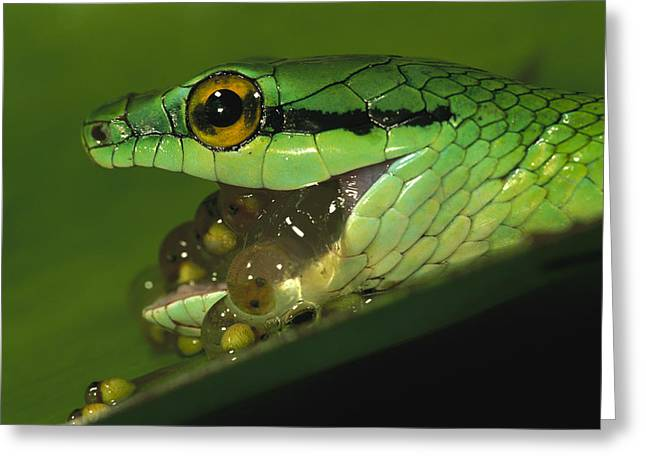 Parrot Snake Eating Tree Frog Eggs Greeting Card by Christian Ziegler