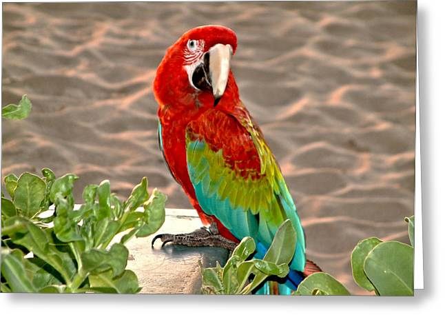 Parrot Sunning On The Beach Greeting Card