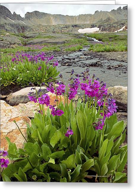 Parry's Primrose (primula Parryi) Greeting Card by Bob Gibbons