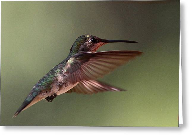 Partial Shade For The Ruby- Throated Hummingbird Greeting Card by Travis Truelove