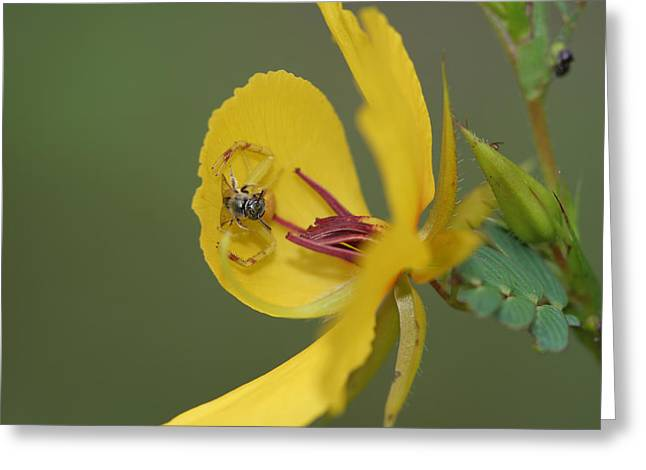 Partridge Pea And Matching Crab Spider With Prey Greeting Card