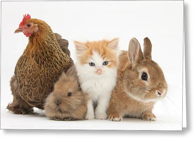 Partridge Pekin Bantam With Kitten Greeting Card by Mark Taylor