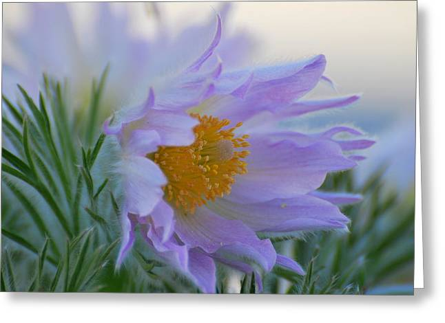 Pasque Flower In The Morning Greeting Card by Anne Gordon