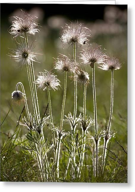 Pasque Flower (pulsatilla) Greeting Card by Bob Gibbons