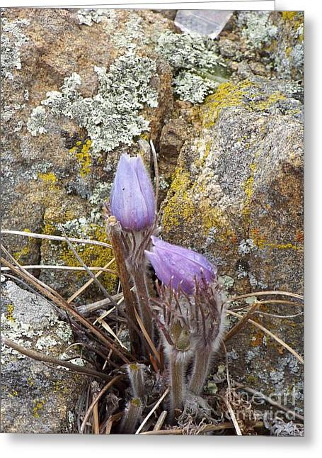 Pasque Flowers Greeting Card