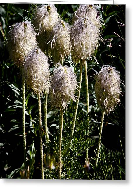 Pasqueflower Seedhead Greeting Card by David Patterson
