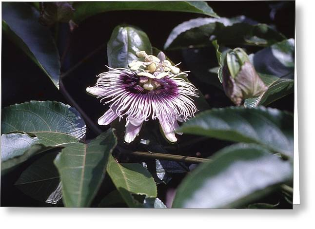 Passion Flower Greeting Card by Craig Wood