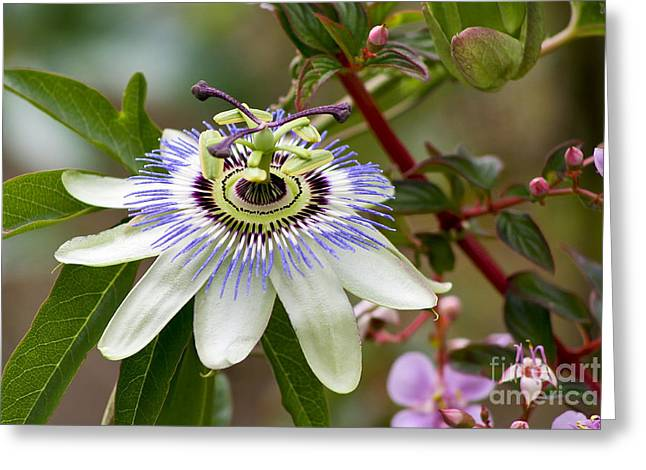Passion Flower Greeting Card by Teresa Zieba