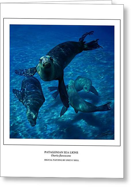 Patagonian Sea Lions Greeting Card by Owen Bell