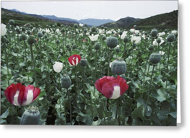 Pathan Opium Poppy Papaver Somniferum Greeting Card by Steve Raymer