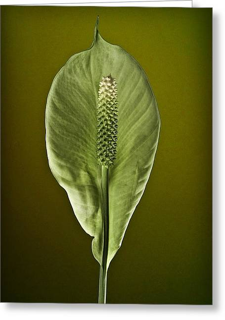 Peace Lilly Greeting Card