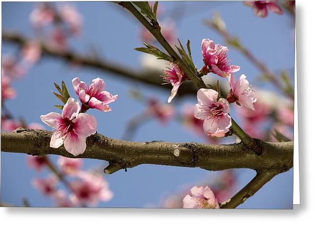 Peach Blossom (prunus Persica) Greeting Card by Bob Gibbons