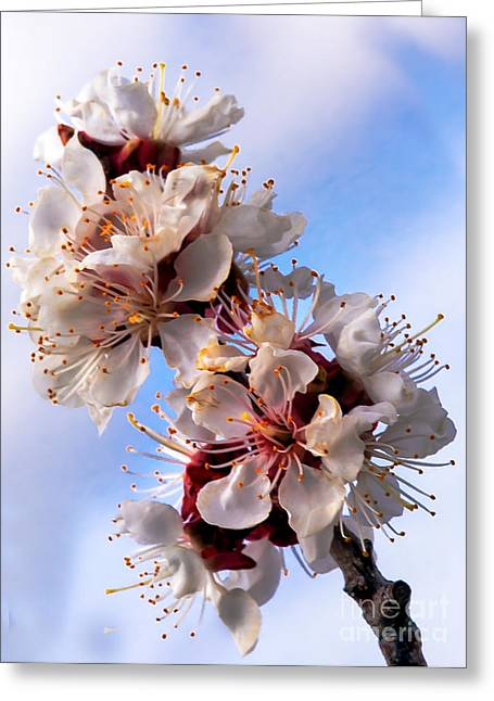 Peach Blossoms Greeting Card by Robert Bales