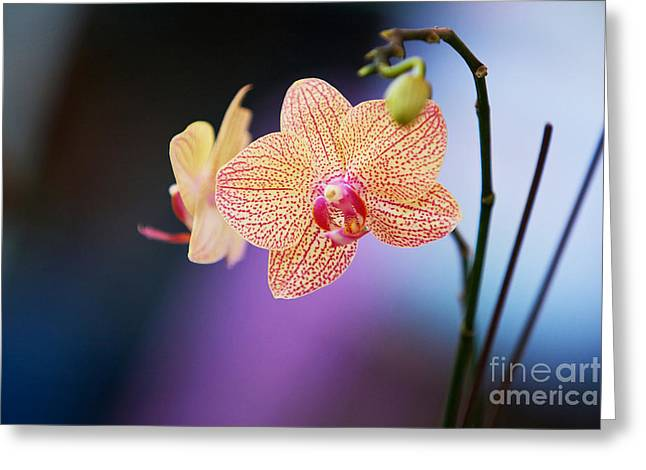 Peach Orchid Greeting Card by Gary Bridger
