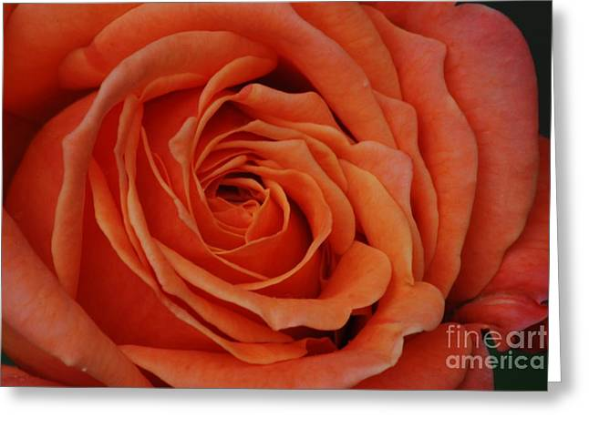 Peach Rose Close-up Greeting Card
