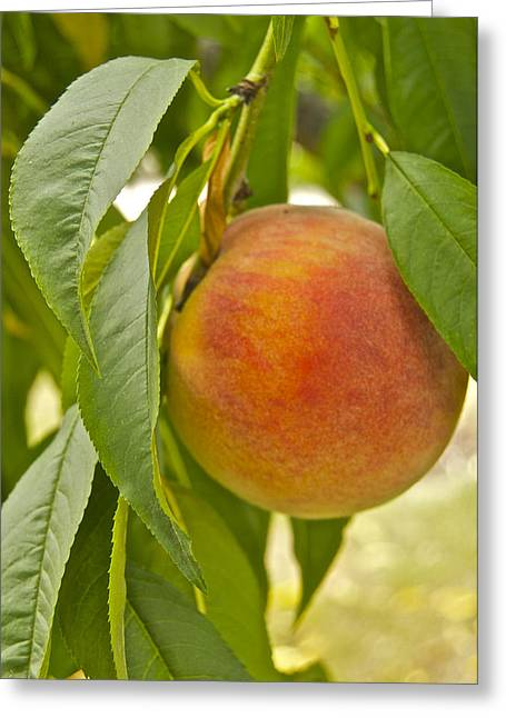 Peachy 2903 Greeting Card by Michael Peychich