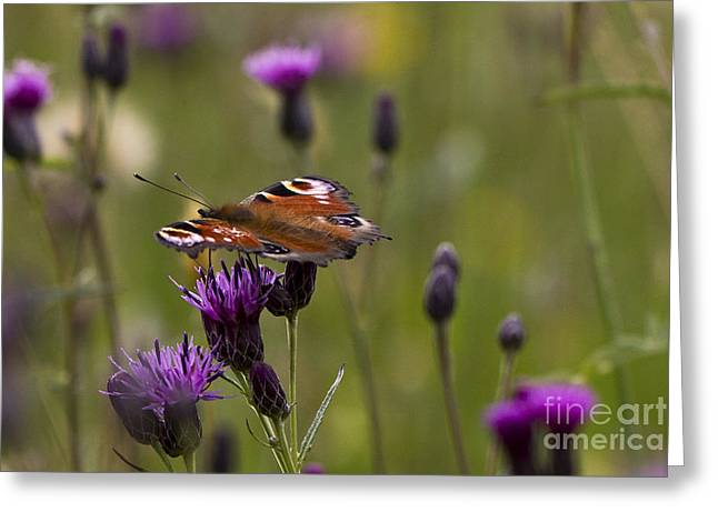 Peacock Butterfly On Knapweed Greeting Card