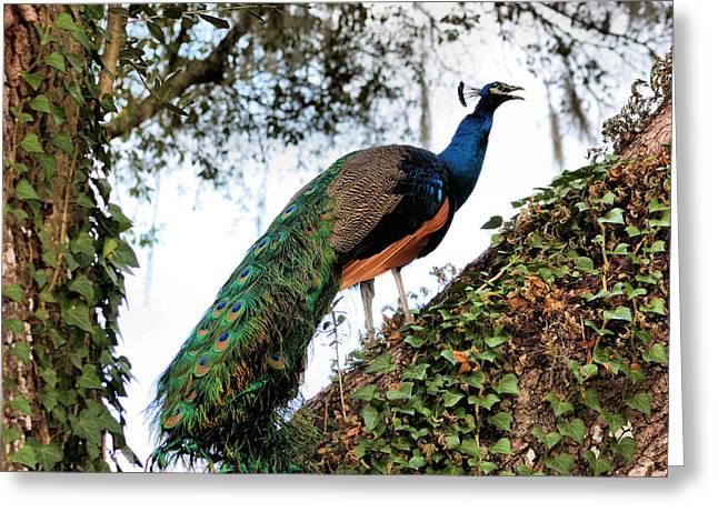 Peacock Calling Greeting Card by Kristin Elmquist