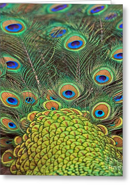 Greeting Card featuring the photograph Peacock  Detail by Larry Nieland