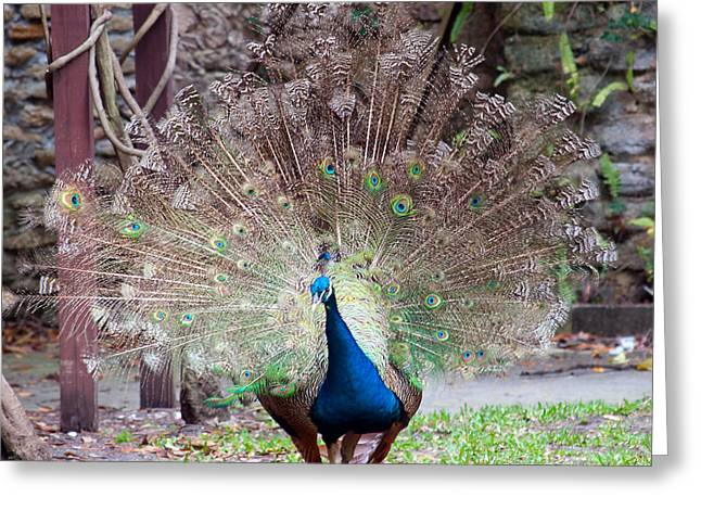 Peacock Display Greeting Card by Kenneth Albin