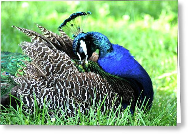 Peacock Greeting Card by Kathy Gibbons