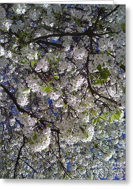 Pear Tree Blossoms Greeting Card