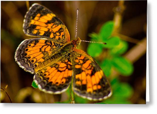 Pearl Cresent Butterfly 2 Greeting Card by Barry Jones