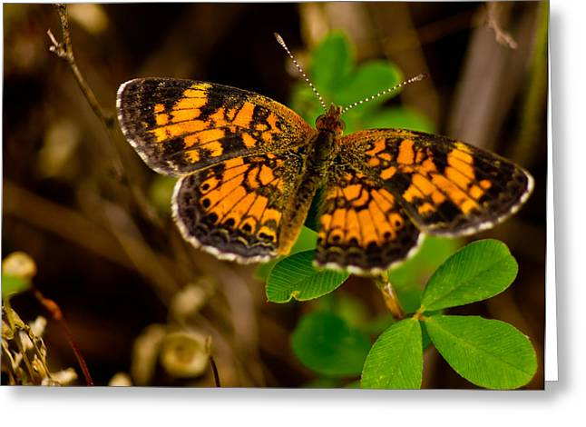 Pearl Cresent Butterfly Greeting Card by Barry Jones