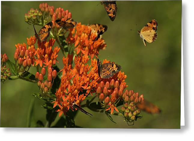 Pearly Crescentpot Butterflies Landing On Butterfly Milkweed Greeting Card