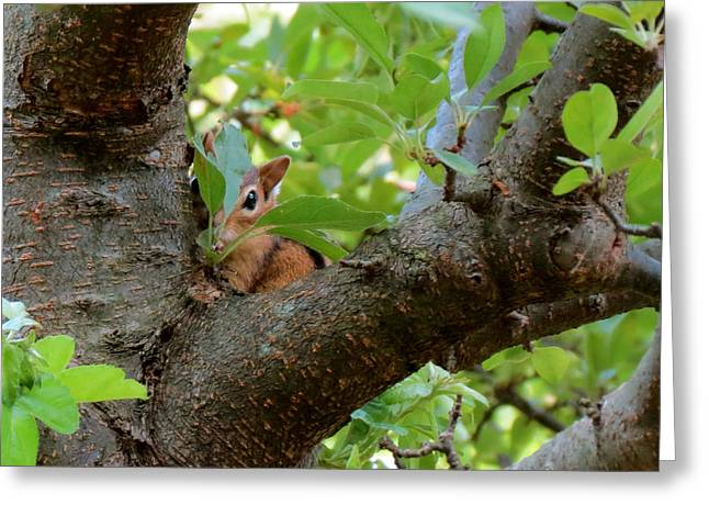 Peeking Chipmunk Greeting Card