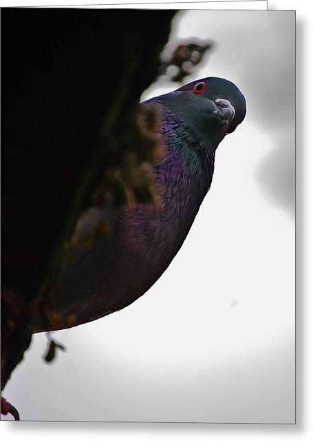 Peeking Pigeon Greeting Card by DigiArt Diaries by Vicky B Fuller