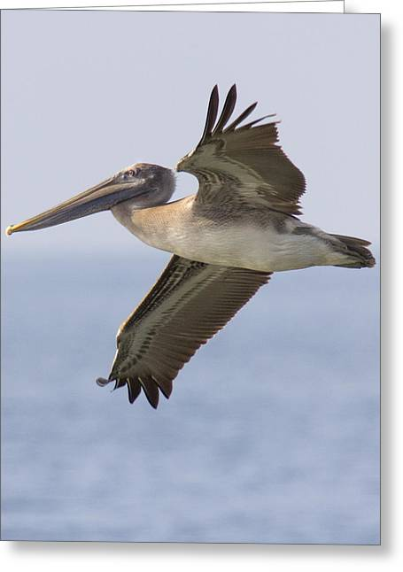 Pelican Greeting Card by Alan Raasch