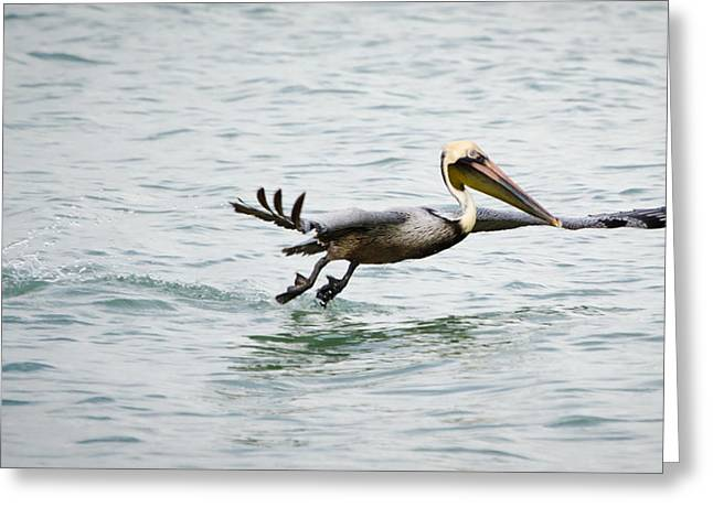 Pelican Landing Greeting Card by Mike Rivera