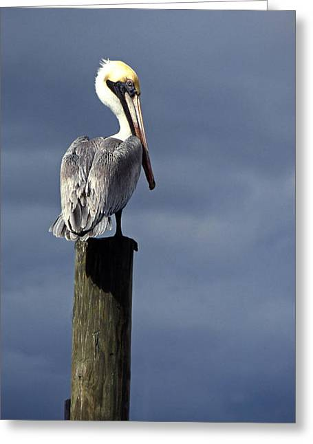 Pelican Perch Ource Photo Greeting Card by Suni Roveto