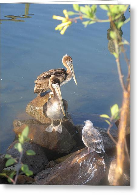 Pelican Stand Off Greeting Card