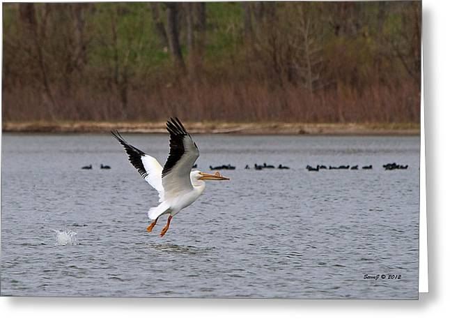 Greeting Card featuring the photograph Pelican Take-off by Stephen  Johnson