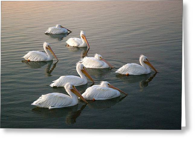Pelicans Eight Greeting Card