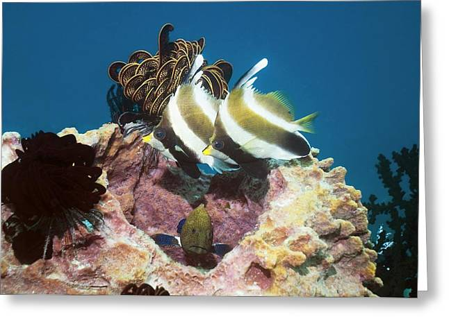 Pennant Bannerfish And Peacock Grouper Greeting Card by Georgette Douwma