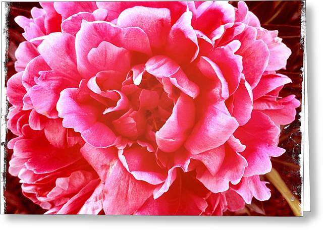 Greeting Card featuring the photograph Peonie by Paul Cutright