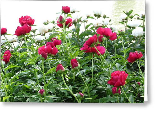 Greeting Card featuring the photograph Peony Abundance by Rebecca Overton