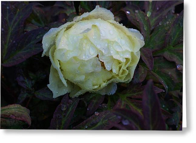 Greeting Card featuring the photograph Peony After The Rain by Jerry Cahill