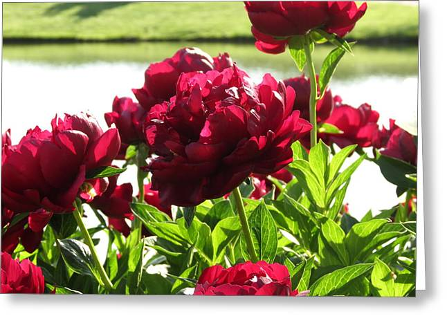 Greeting Card featuring the photograph Peony Burgandy by Rebecca Overton