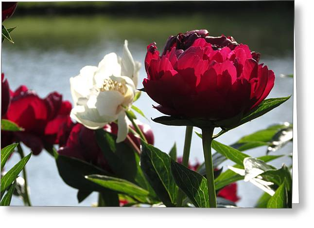 Greeting Card featuring the photograph Peony Sunlit by Rebecca Overton